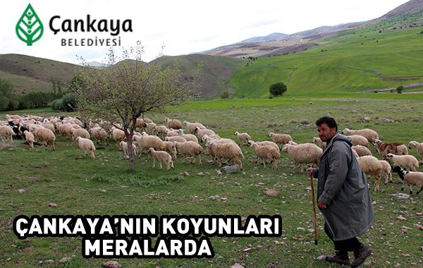 Çankayanın Koyunları